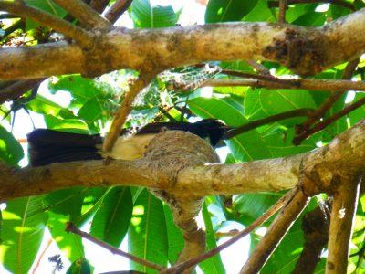 WWagtail -nest