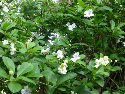 Brunfelsia americana - 2