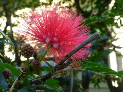 Red calliandra 11 july