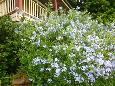 blue plumbago 2 - so reliable